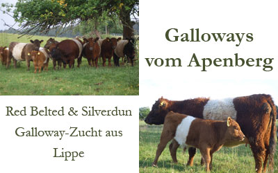 Galloways vom Apenberg